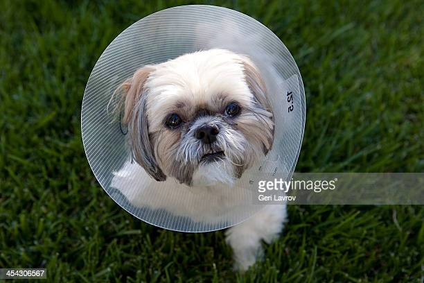 shih tzu dog wearing a protective medical collar - cone shape stock photos and pictures
