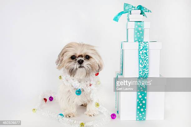 Shih Tzu dog wrapped with ornaments next to gifts