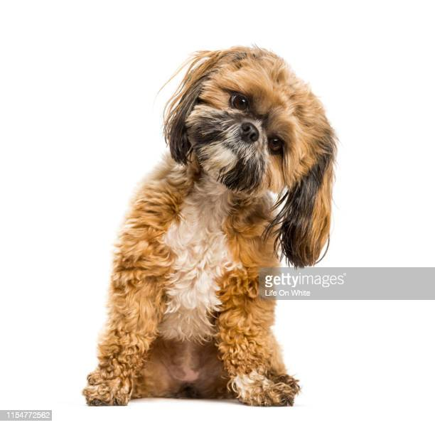 shih tzu in studio - head cocked stock pictures, royalty-free photos & images