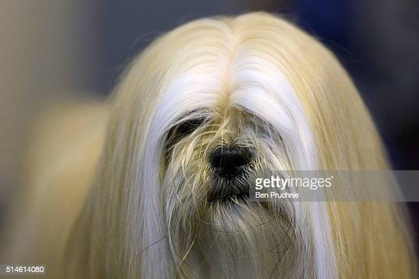 A shih tzu is posed for a photograph on the first day of Crufts Dog Show on March 10 2016 in Birmingham England First held in 1891 Crufts is said to...