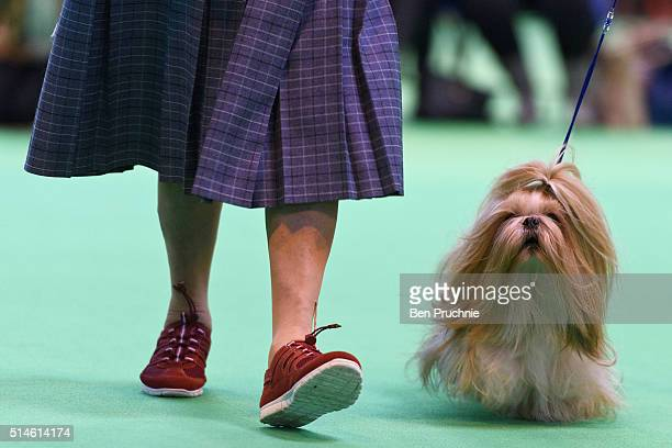 A shih tzu is walked by its owner on the first day of Crufts Dog Show on March 10 2016 in Birmingham England First held in 1891 Crufts is said to be...