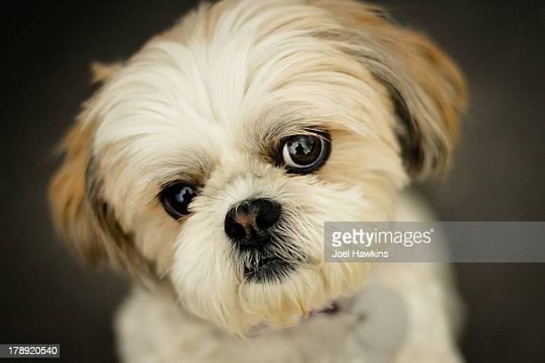 Shih Tzu little dog