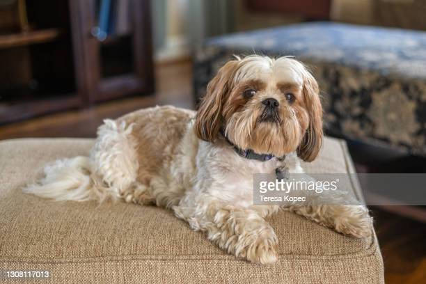 shih tzu pet on ottoman - charming stock pictures, royalty-free photos & images