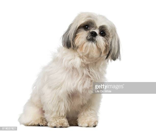 shih tzu photos pictures shih tzus 60 top shih tzu pictures photos images getty images