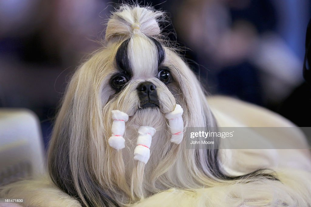 A Shih Tzu Prepares To Compete In The 137th Westminster Kennel Club