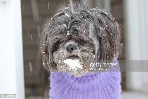 shih tzu watching the snow not impressed - americas next top dog stock pictures, royalty-free photos & images