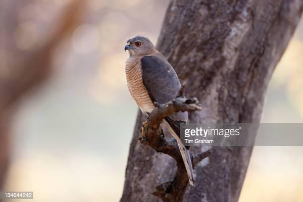 Shikra Hawk bird of prey Accipiter Badius in Ranthambhore National Park Rajasthan Northern India