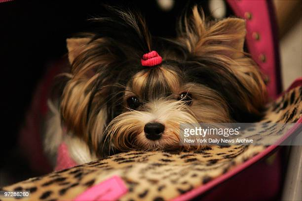 """Shiloe Jolie, a Biewer Yorkshire terrier from Brooklyn, is among more than 30 pooches vying for a spot on the upcoming WE television show """"America's..."""