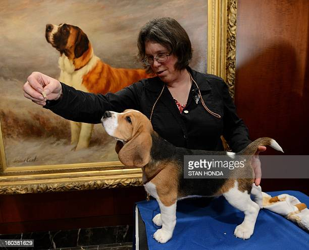 Shiloh a Beagle gets a snack from Mary Cummings at an American Kennel Club press conference January 30 2013 in New York where the most popular dogs...