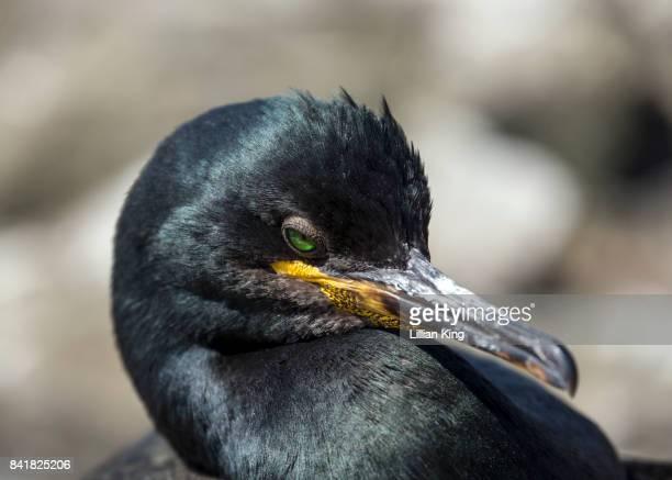 A shimmering Shag (sea bird)