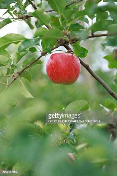 Shinanosuito sweet apple
