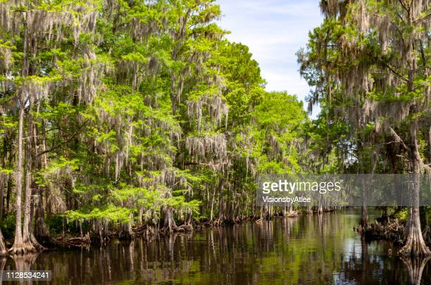 shingle creek in kissimmee floriida is lined with cypress trees - cypress tree stock pictures, royalty-free photos & images