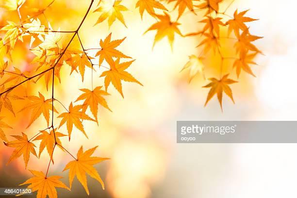 Shining Autumn Japanese Maple Leaves