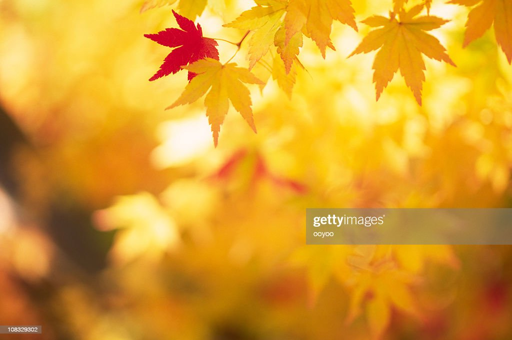 Shining Autumn Leaves : Stock Photo