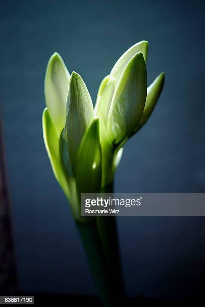 Shining white Amaryllis buds