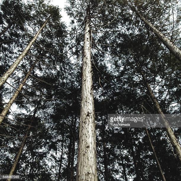 Shiny coniferous trees