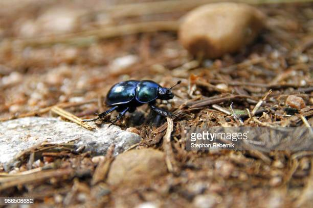 shiny happy beetle / vidin province, bulgaria (2010) - stephan rebernik stock-fotos und bilder