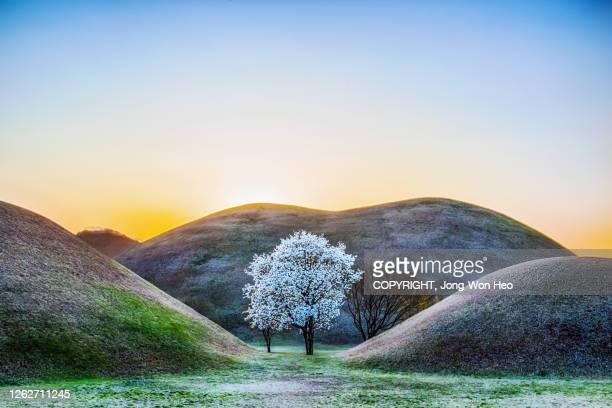 a shiny magnolia tree between ancient royal tombs under the sunset sky - paisajes de jordania fotografías e imágenes de stock