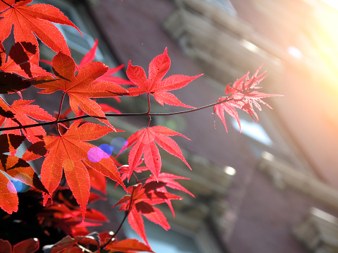 Shiny red ivy leaves creeping on house facade in New York City in autumn - gettyimageskorea