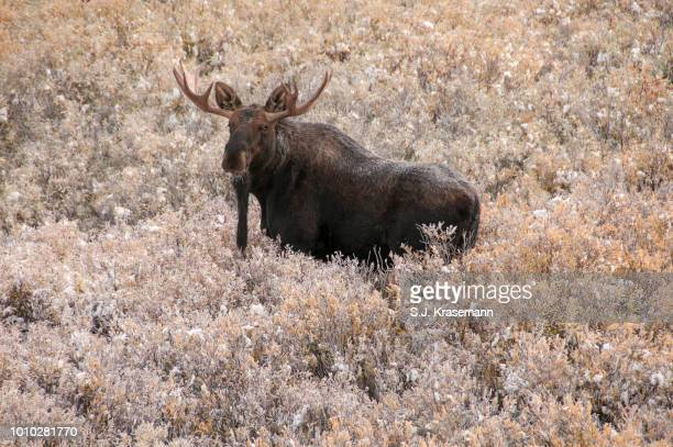 Shiras Bull Moose standing in newly snow-covered brush, Grand Teton National Park, WY, USA.