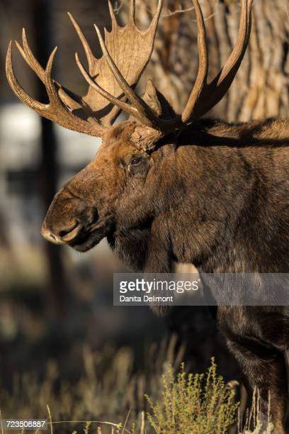Shiras Moose (Alces Alces Shirasi) Bull standing in Grand Tetons National Park in winter, Wyoming, USA