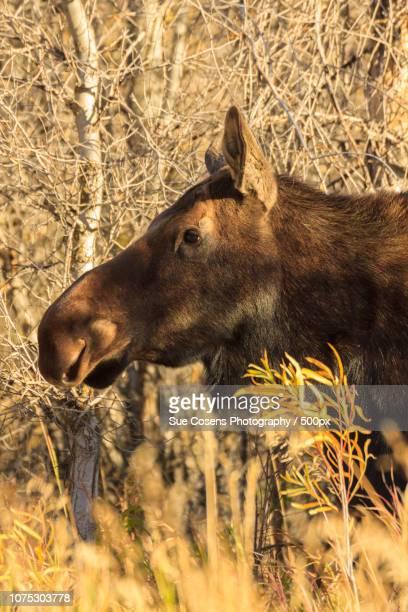 Shiras Moose Cow Portrait