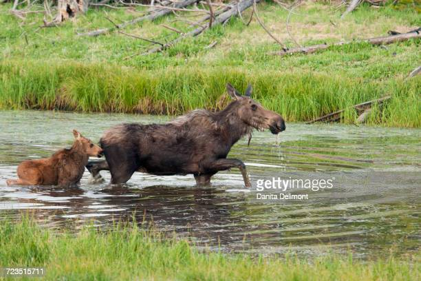 Shiras Moose (Alces Alces Shirasi) cow with calf crossing river