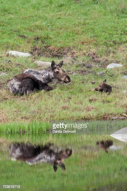 Shiras Moose (Alces Alces Shirasi) cow with calf resting