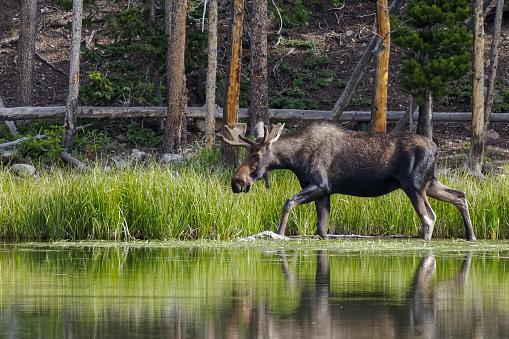 Shiras Moose in the Rocky Mountains of Colorado 1076677294
