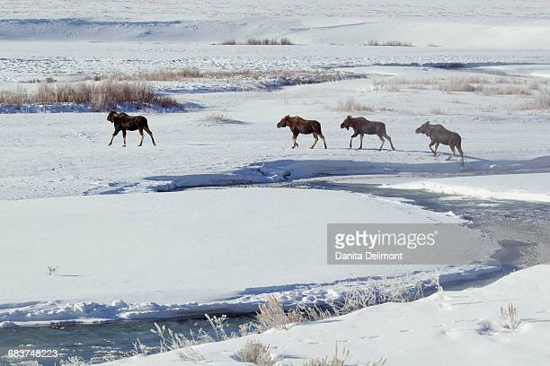 Shiras Moose (Alces Alces Shiras) walking through snow field in Yellowstone National Park, Wyoming, USA