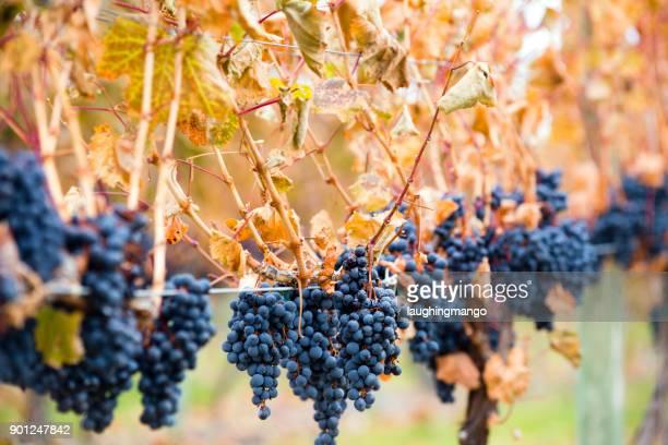 shiraz grapes - kelowna stock pictures, royalty-free photos & images