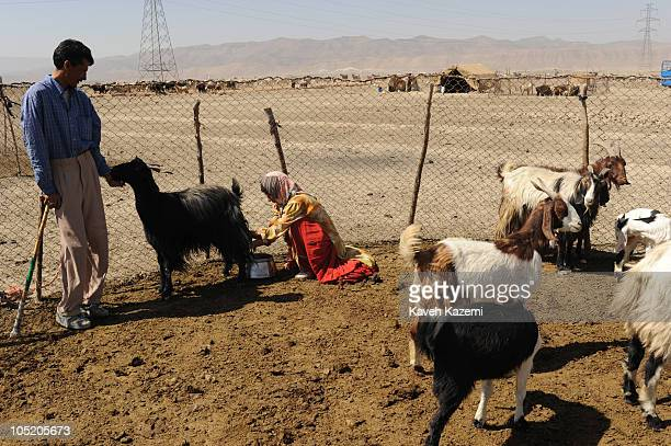 A Ghashghai woman milks a goat while her husband holds the animal outside the tent which the family has chosen for summer relocation outside Shiraz...