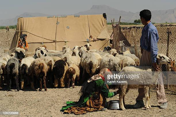 A Ghashghai woman milks a lamb while her husband holds the animal outside the tent which the family has chosen for summer relocation outside Shiraz...
