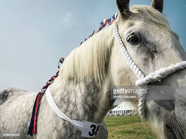 shire horse at english country show, close up - shire horse stock pictures, royalty-free photos & images