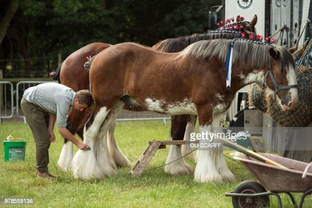 A shire horse is groomed on the first day of The Royal Cheshire County Show at Tabley near Knutsford northern England on June 19 2018 The...