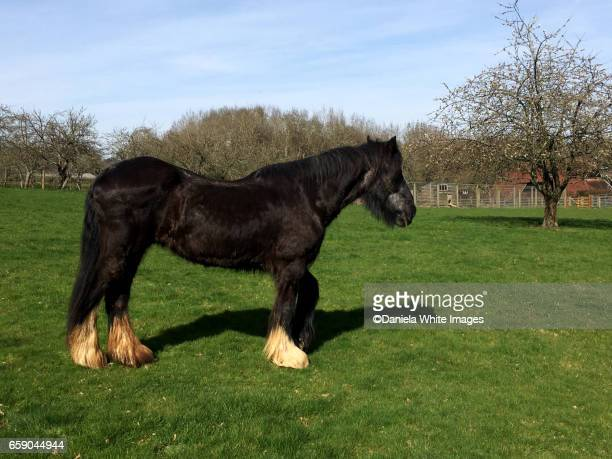 shire horse - shire horse stock pictures, royalty-free photos & images
