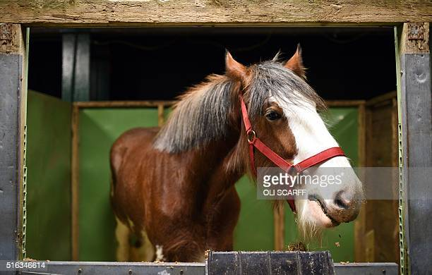 A shire horse rests in its stall at the National Shire Horse Show held at Stafford Showground near Stafford central England on March 18 2016 The...