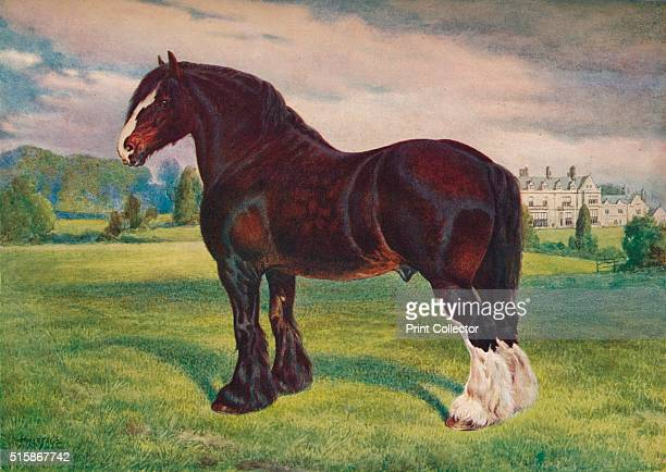 Shire Horse stallion Harold circa 1905 Harold's descendants dominated the studbook and all post World War Two Shire Horses are descended from him He...