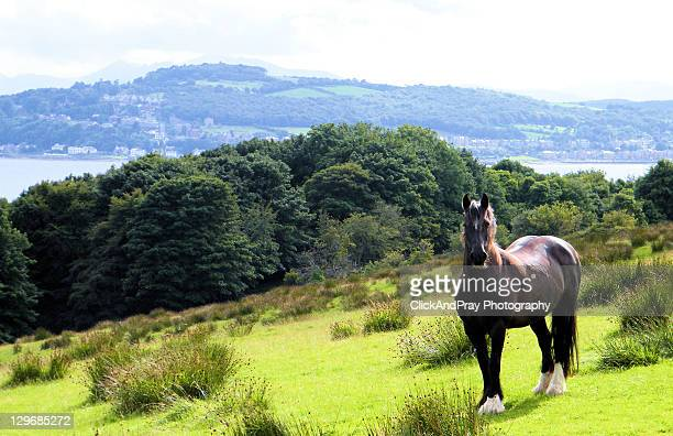 shire horse stands on hillside - shire horse stock pictures, royalty-free photos & images