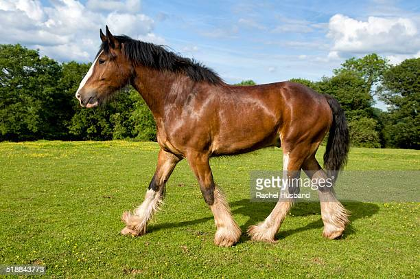 shire horse trotting in field - shire horse stock pictures, royalty-free photos & images