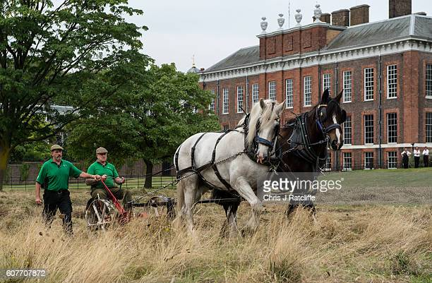 Shire horses Heath and Tom pull an antique horse drawn mower driven by Edward MacDowell and guided by Tom Nickson as they cut the meadow at...