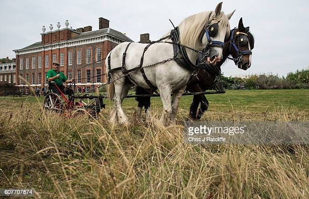 Shire horses Heath and Tom pull an antique horse drawn mower driven by Tom Nickson as they cut the meadow at Kensington Palace on September 19 2016...