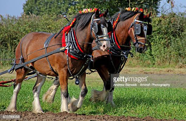 shire horses - shire horse stock pictures, royalty-free photos & images