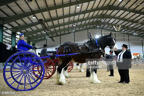 Shire horses prepare to be judged in the Two Wheeled Carts class at the National Shire Horse Show held at Stafford Showground near Stafford central...