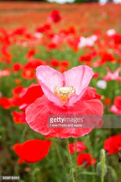 shirley poppy - may stock pictures, royalty-free photos & images