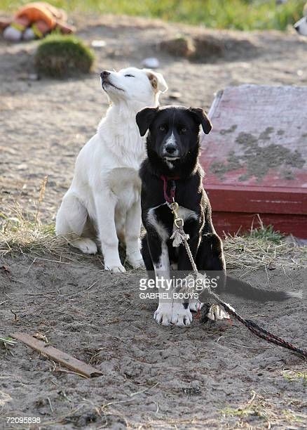 Dogs sitin front of their homes in Shishmaref Alaska 26 September 2006 The village home of Inupiat Eskimos is located 20 miles south of the Artic...