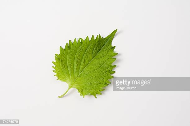 shisho - shiso stock pictures, royalty-free photos & images