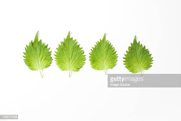 shiso in a row - shiso stock pictures, royalty-free photos & images