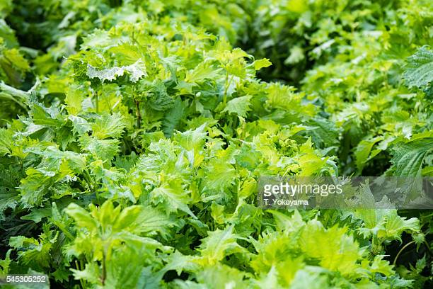 shiso - japanese herb plant in japanese farm - shiso stock pictures, royalty-free photos & images
