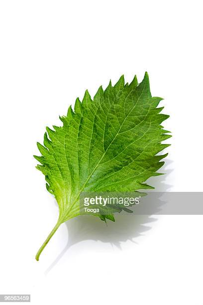 Shiso leaf on white